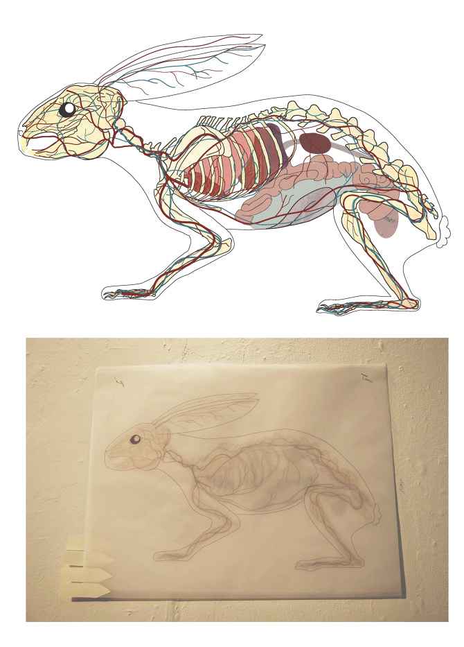 Rabbit Anatomy On Vellum White Elk